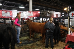 grooming cattle for livestock show NAILE