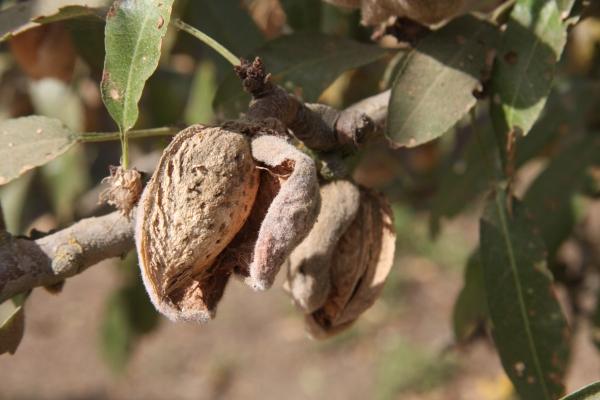 almond shells & hulls