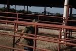 opening cattle gates