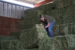 tipping bales off the stack
